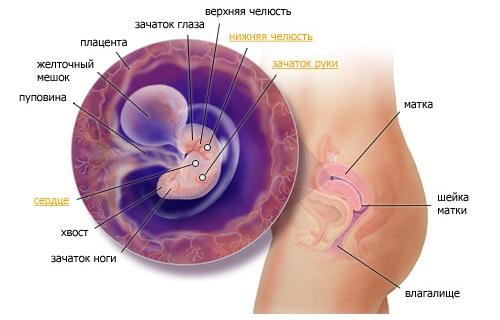 шестая неделя беременности