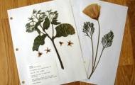 Как сделать гербарий?